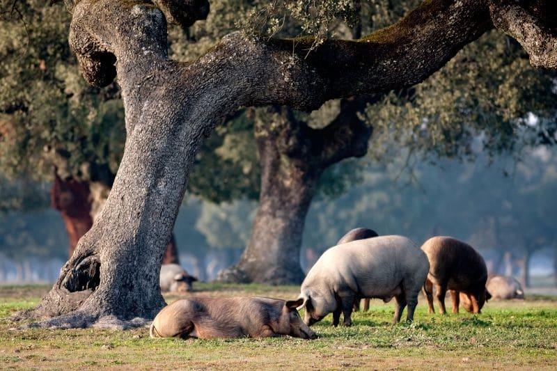 cerdos ibéricos descansando bajo una encima en una explotación de ganadería extensiva
